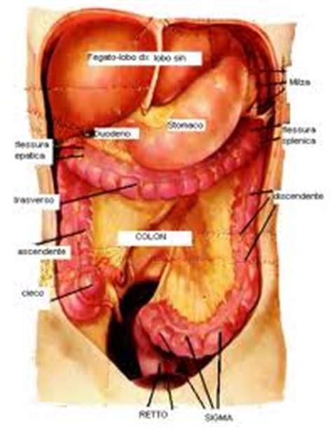 organi interni corpo umano lato destro il fegato