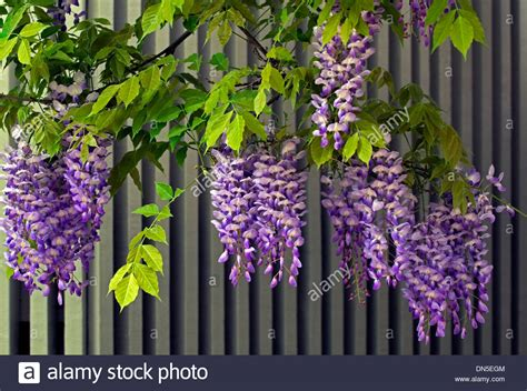 copy right free pictures of purple wisteria purple violet and white wisteria flower blossoms from the stock photo royalty free