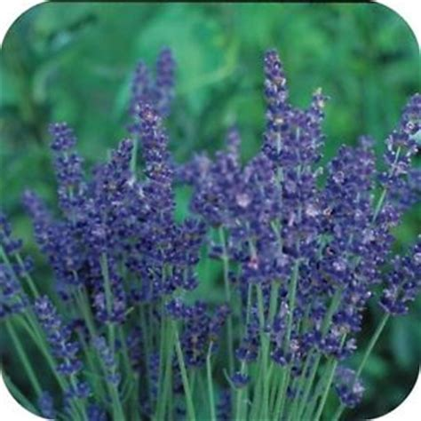most fragrant lavender plants most fragrant munstead lavender flower seeds perennial