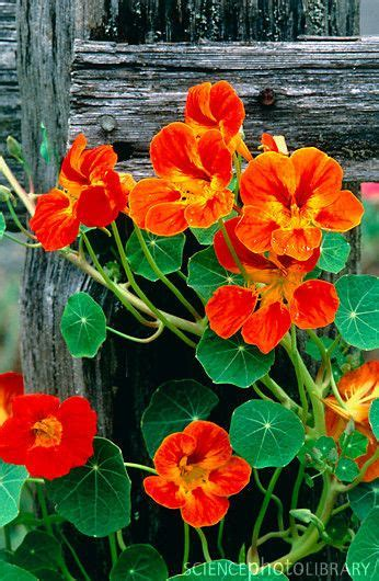 Nasturtium Is An Edible Flower Provided No Chemicals Are Edible Garden Flowers