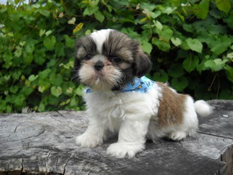 how much does a shih tzu cost black and brown shih tzu www pixshark images galleries with a bite