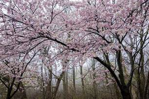 Best Patio Restaurants In Toronto High Park Cherry Blossoms To Start Blooming This Weekend