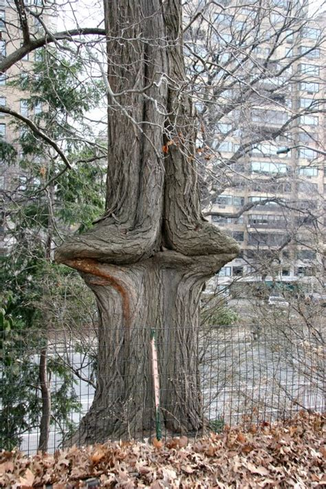 unusual red oak tree trunk by the reservoir photo