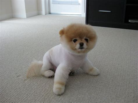 pomeranian boo puppies meet boo the cutest pomeranian damn cool pictures