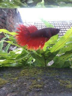 Pakan Ikan Cupang Selain Jentik Nyamuk sensation