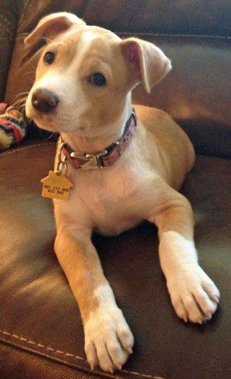 pitbull mix puppies best 25 mix pitbull ideas on pitbull mix puppies blue pitbull puppies