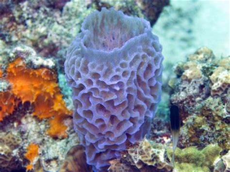 what is this blue coral called scubaboard