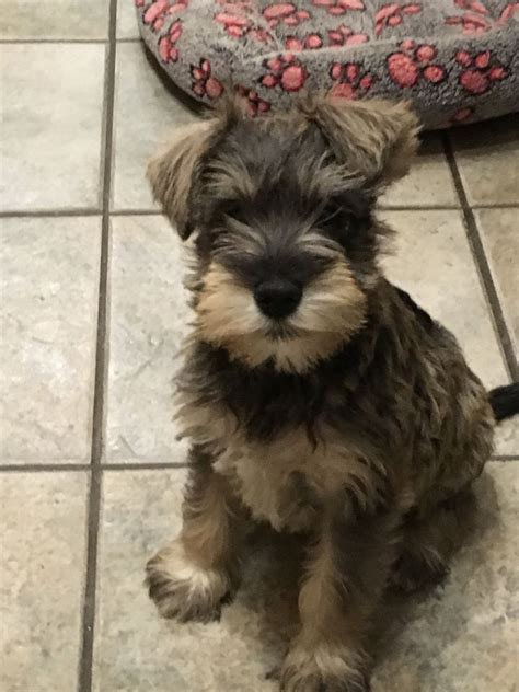 mini schnauzer puppies for sale miniature schnauzer puppies for sale llandysul ceredigion pets4homes