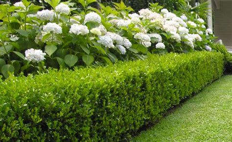 voortuin twee vierkanten met buxussen en daarin hortensia