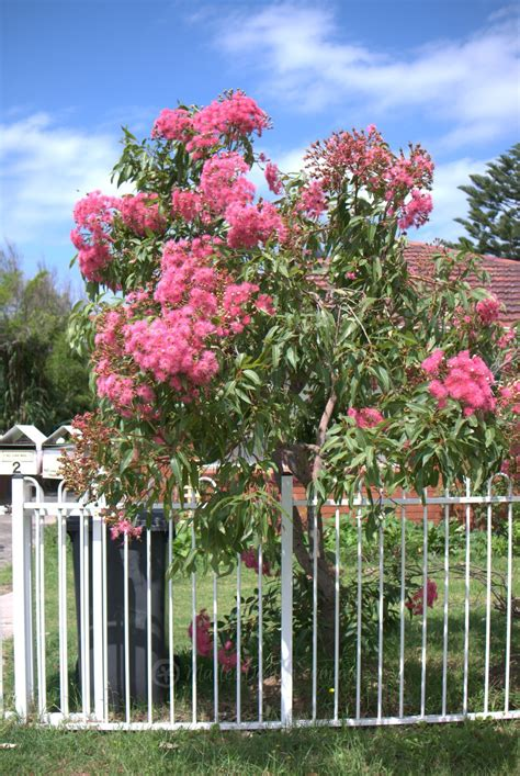 Large Pink Flowering Shrub - my favourite grafted dwarf eucalyptus ficifolia mallee design