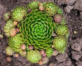 growing hens and chicks thriftyfun