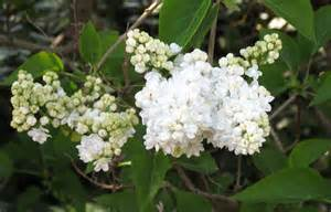 gallery for gt white lilac bush