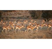 Springbok Antelope Herd Stock Footage 8567891  Pond5