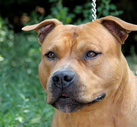 Elevage d'american staffordshire terrier - Elevage d ...