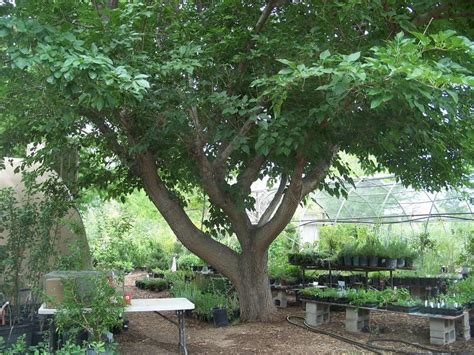 mulberry trees good climbing great eating the white fruit can be used to get the stains from