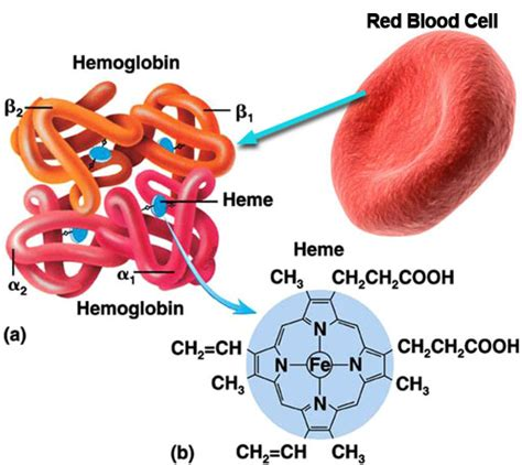 Inside A Red Blood Cell Diagram Nivoteamfo