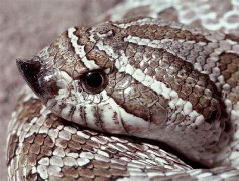 hognose snakes pinterest