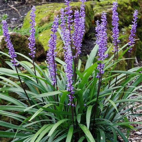 plant with purple flowers liriope muscari royal purple 1 plant buy online order