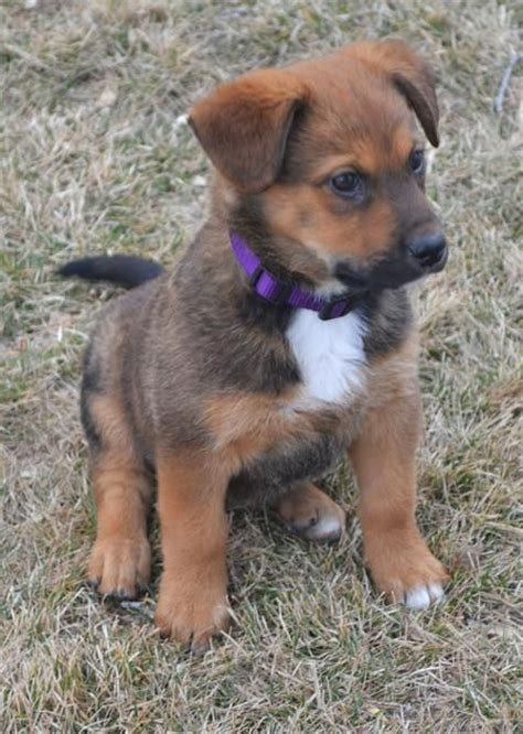 mixed breed puppies 25 best ideas about mixed breed puppies on doge breed husky breeds