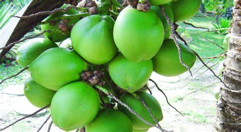 Jepit Rambut Tumbuhan Buah Buahan manfaat buah kelapa untuk kesehatan fashions sehat
