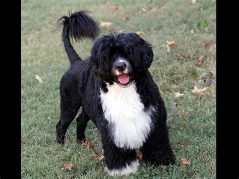 portuguese water for sale patriot portuguese water dogs puppies for sale