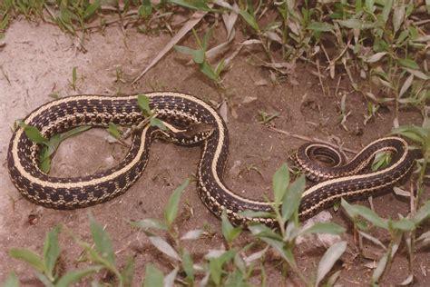 Garter Snake Plains Garter Snake Reptile Hibian Discovery Zoo