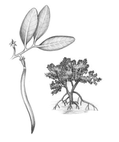 mangrove tree coloring page mangrove tree roots coloring pages