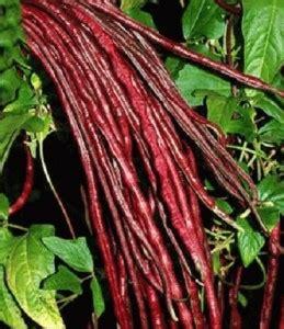 Harga Benih Terong Ungu Antaboga benih kacang panjang merah ungu jual tanaman hias