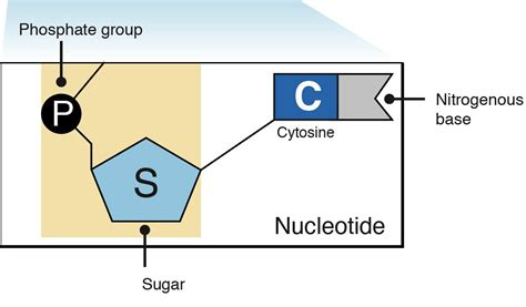 diagram of nucleotide nucleotides and bases genetics generation