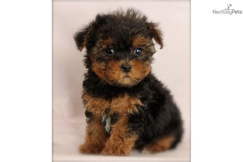 teacup yorkie poo puppies for adoption teacup yorkie poo puppy health guaranteed is a breeds