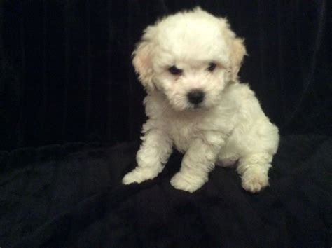 bichon frise shih tzu mix temperament mini the bichon frise breeds picture