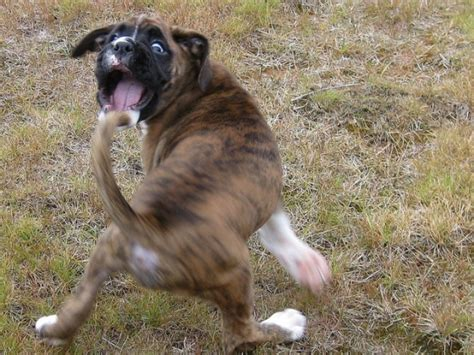 chaising tails science seeks answer to why dogs chase their tails