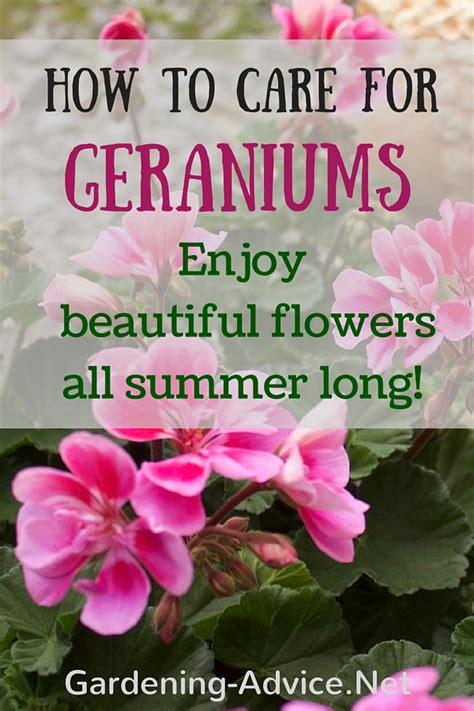 Geranium Care   Growing Geraniums Outdoors Or Indoors