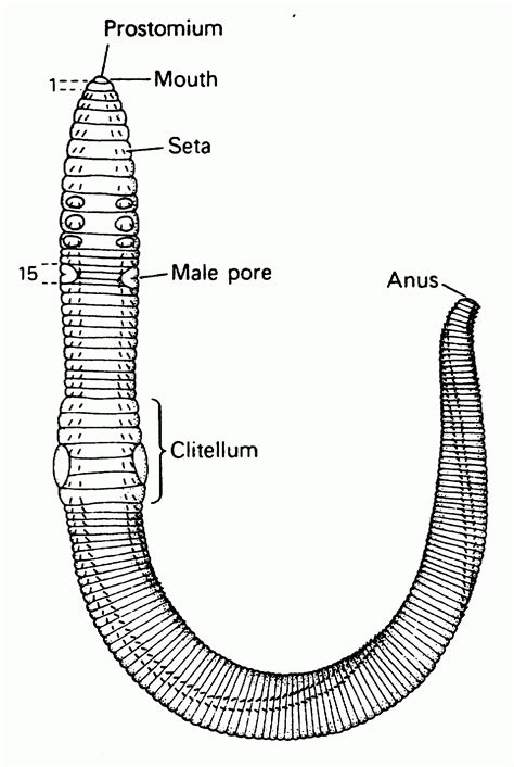 earthworm diagram and label labeled structure of earthworm similiar simple worm diagram keywords anatomy structure