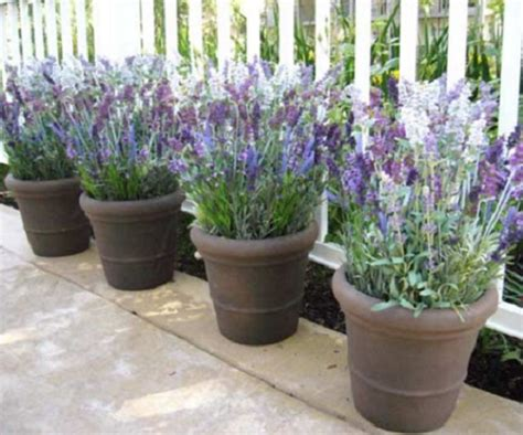 Pupuk Untuk Bunga Tapak Dara tanaman pengusir nyamuk bibitbunga