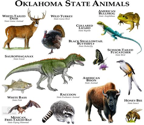 oklahoma state animals fine art illustration of the