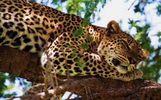 What Is A Jaguars Predator Jaguar Animals Cats Predators Trees Africa Safari Spots