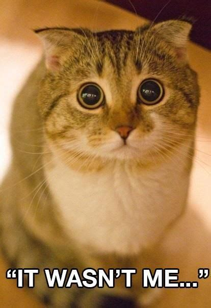 Tabby Meme - meme tabby with wide eyes quot it wasn t me quot source
