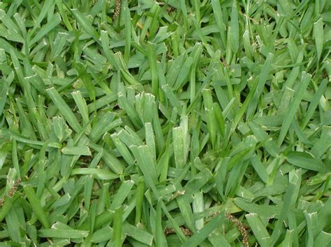type of grass for garden types of grass