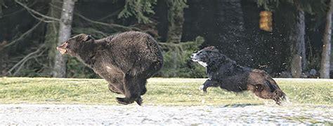 dogs used to hunt bears dogs bearsmart