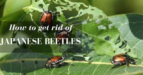 top 28 how to get rid of japanese beetle 1000 ideas about japanese beetles on pinterest
