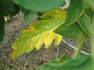tomato plant problems worms rot blight cracking more