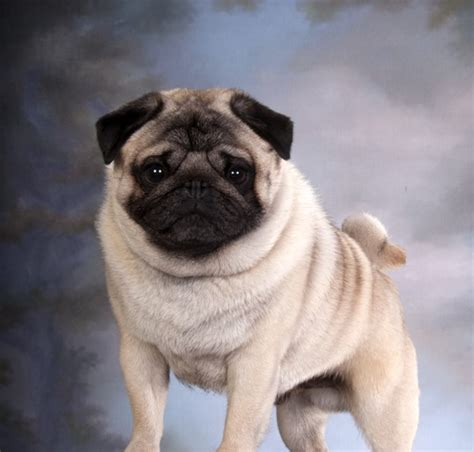 club pug pug of the month february 2016 northern california pug club