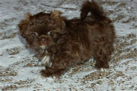 light brown shih tzu puppies maltese cross shih tzu black and white breeds picture