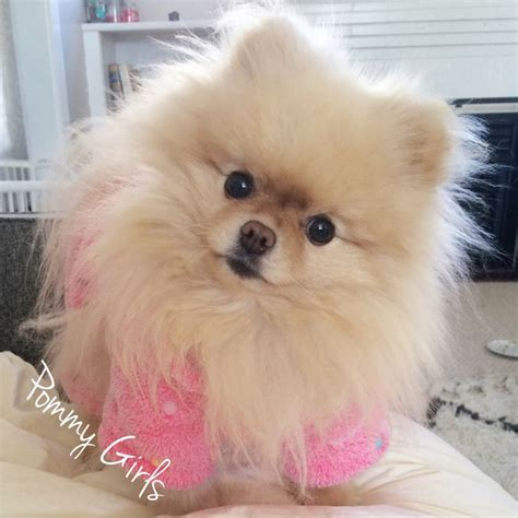 pomeranian clothes 1000 ideas about teacup pomeranian puppy on teacup pomeranian pomeranian