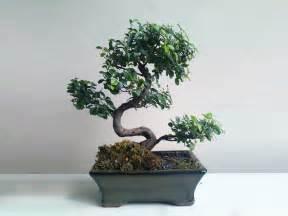 comment choisir un bonsai d int 233 rieur ou d ext 233 rieur