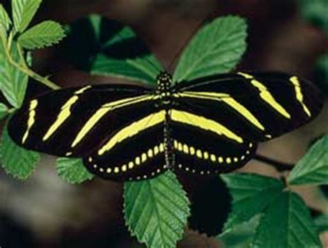 Almost Longwing Black florida state facts white sands resort