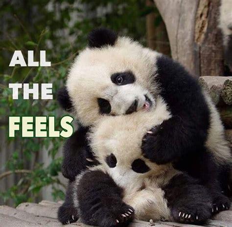 panda meme 20 incredibly and panda memes sayingimages