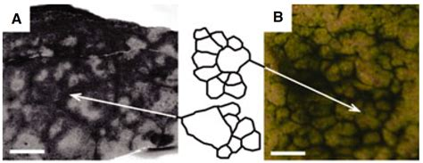 pattern formation in vitro life free full text a model of filamentous