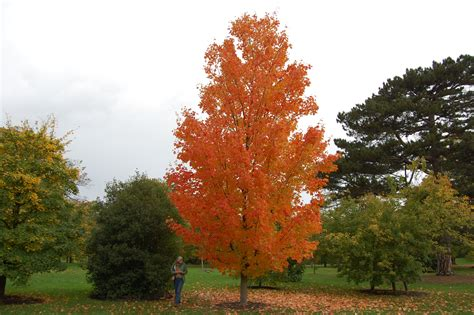 maple tree name in acer saccharum landscape architect s pages